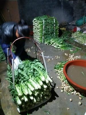 广西壮族自治区玉林市博白县救心菜苗 博白甜麦菜