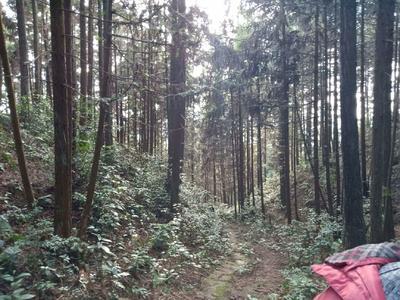 贵州省铜仁市松桃苗族自治县杉木树苗  人工杉木林5000亩