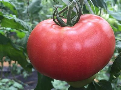 山东省聊城市高唐县硬粉番茄 通货 弧二以上 硬粉