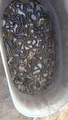 福建省宁德市古田县台湾泥鳅 50-60尾/公斤 15cm以上 人工养殖