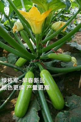 山东省潍坊市寿光市绿将军油亮型