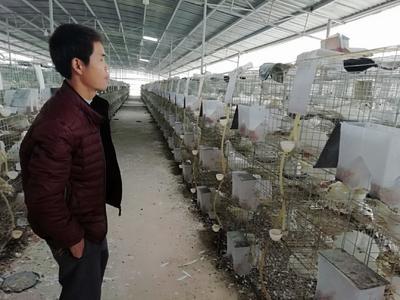 江西省赣州市兴国县乳鸽 新鲜
