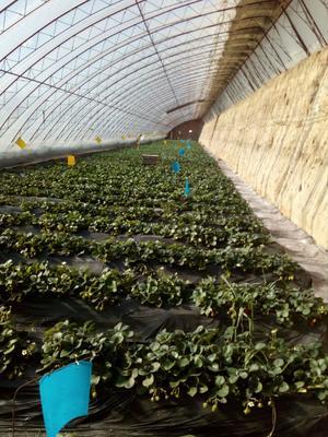 内蒙古自治区呼和浩特市赛罕区有机草莓 30克以上