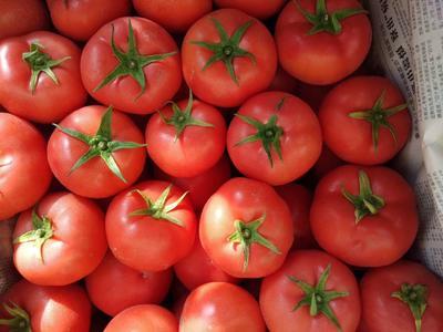 甘肃省武威市民勤县硬粉番茄 精品 弧三以上 硬粉