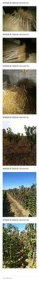 山东省烟台市莱阳市大樱桃苗木 1~1.5米 4公分以下