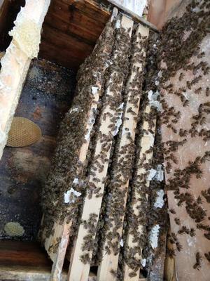 四川省成都市新都区中蜂 蜂群