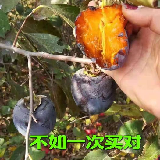 黑柿苗 两年苗 包挂果 包品种包成活