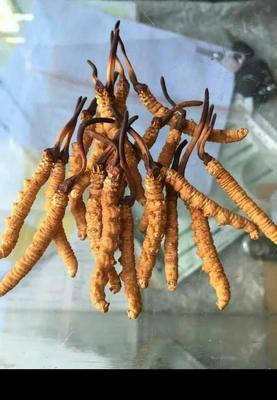 西藏自治区拉萨市城关区冬虫夏草