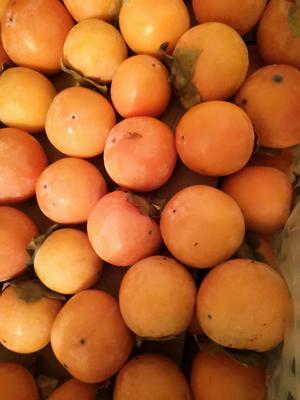 陕西省西安市周至县火晶柿子 1 - 2两以上