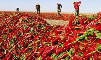 新疆维吾尔自治区昌吉回族自治州昌吉市烘干辣椒王
