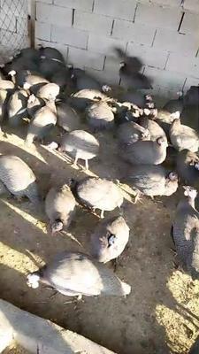 山东省济宁市梁山县灰色珍珠鸡 4-6斤