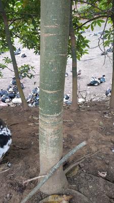 广西壮族自治区北海市合浦县独杆发财树