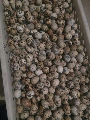 辽宁省葫芦岛市绥中县白羽鹌鹑蛋 食用 散装