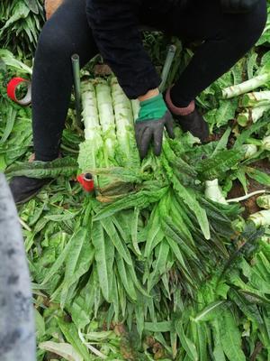 山东省临沂市沂南县红叶莴笋 1.5~2.0斤 60-70cm