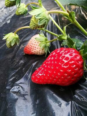 江苏省扬州市邗江区红颜草莓 20克以上