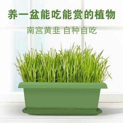 河北省邢台市南宫市韭黄盆景 头茬 20~30cm