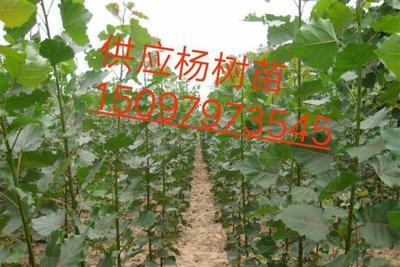 河北省邢台市巨鹿县107杨