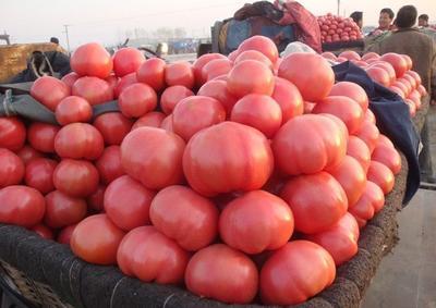 山东省聊城市高唐县罗拉西红柿 通货 弧二以上 硬粉