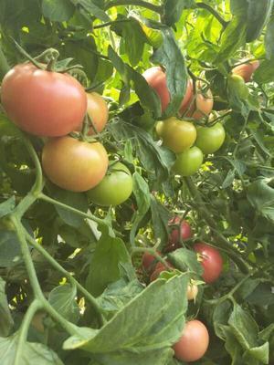 天津静海县硬粉番茄 通货 弧二以上 硬粉