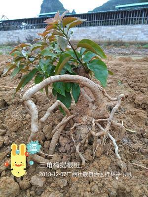广西壮族自治区桂林市平乐县同安红三角梅 0.2~0.5米