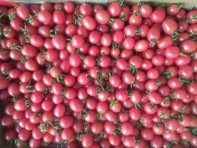 辽宁省大连市普兰店市千禧西红柿 精品 弧二以上 大红
