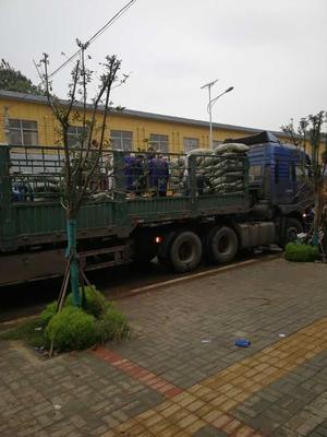安徽省亳州市谯城区牡丹树 1~1.5米 4~6cm 4~6cm