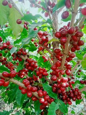 云南省大理白族自治州宾川县云南小粒咖啡豆