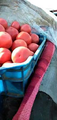 河北省衡水市饶阳县硬粉番茄 精品 弧三以上 大红