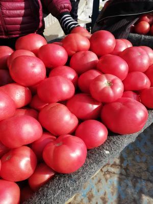 山东省德州市禹城市罗拉西红柿 通货 弧三以上 硬粉