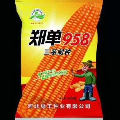 郑单958玉米种子 双交种 ≥97%