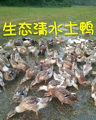 这是一张关于土鸭 5-6斤 统货 全散养 的产品图片