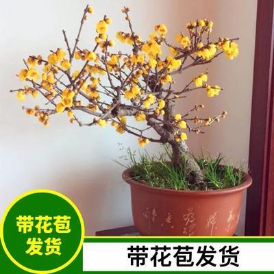 山东省临沂市平邑县素心腊梅 0.5~1米