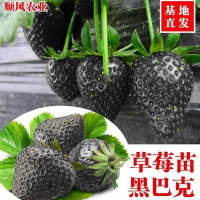黑巴克草莓苗 30~40公分 地栽苗