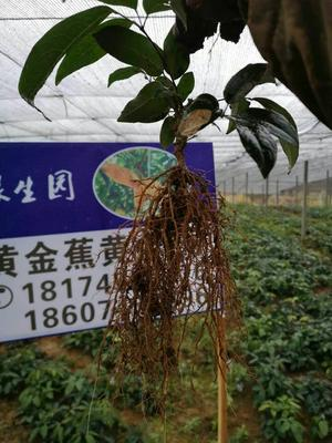 湖南省怀化市会同县九月黄金蕉苗
