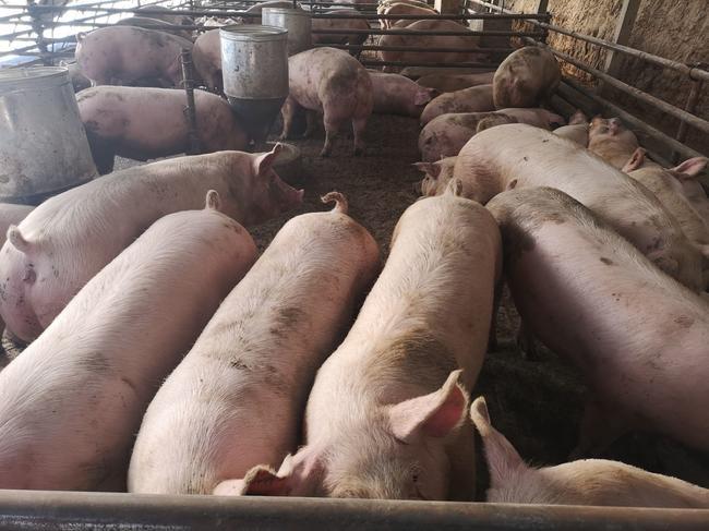 三元猪 200-300斤