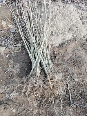 山东省泰安市岱岳区皂角树