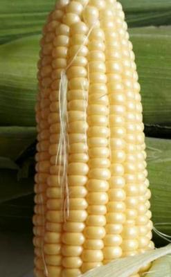 云南省德宏傣族景颇族自治州瑞丽市甜玉米 带壳 甜