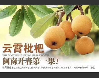 福建省漳州市云霄县云霄川贝枇杷膏 12-18个月