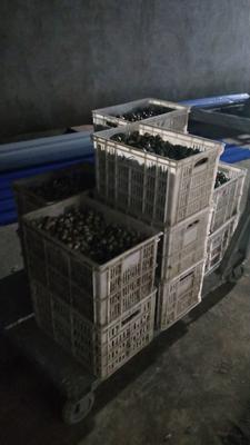 安徽省亳州市利辛县黄羽鹌鹑蛋 食用 箱装
