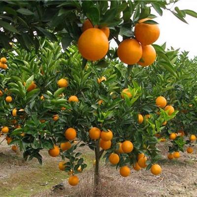 无核沃柑苗 移栽苗 0.5~1米