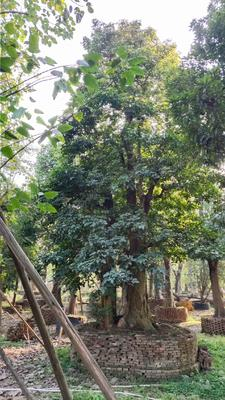 广东省广州市南沙区秋枫树  头径一米的好货