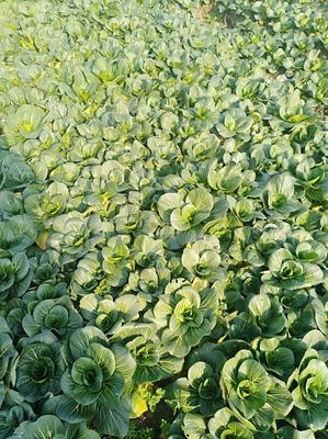 上海嘉定区苏州青小白菜 10~15cm