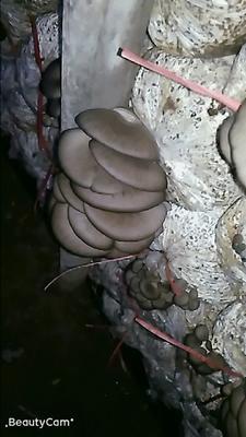 河北省邯郸市临漳县蘑菇