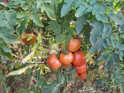 广东省广州市南沙区硬粉番茄 通货 硬粉 弧二以上