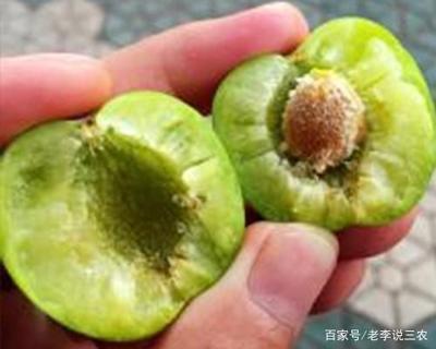 重庆巫溪县青脆李 35 - 40mm