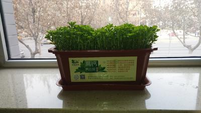 这是一张关于狭叶费菜 箱装 的产品图片