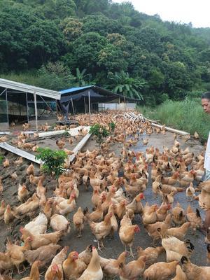 这是一张关于肉鸡 3-4斤 母 的产品图片