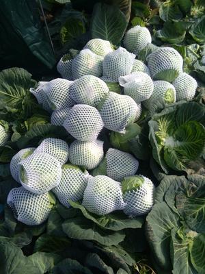 湖北省咸宁市嘉鱼县铁头圆包菜 1.5~2.0斤