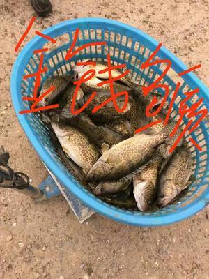 广东省江门市蓬江区斑鳜 人工养殖 0.8斤以下