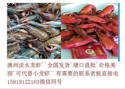 广东省肇庆市高要市澳洲淡水小龙虾苗